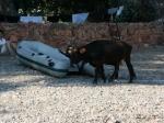 Kühe am Strand von Giolata