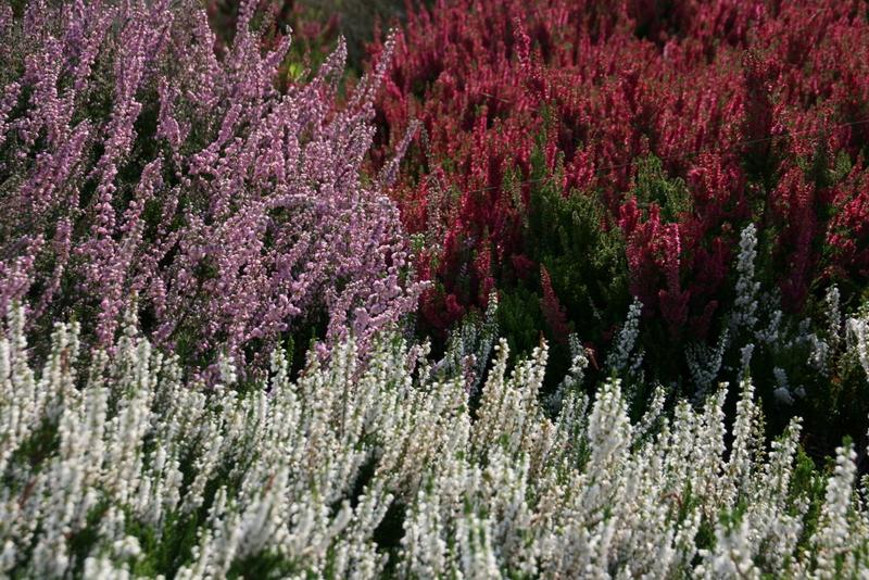 Blühende Heide im Heidegarten Höpen