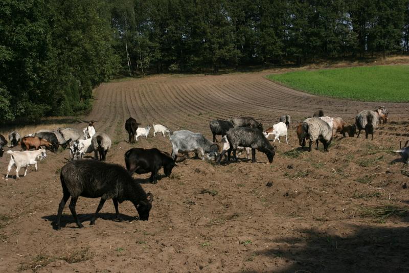 Heidschnucken-Herde