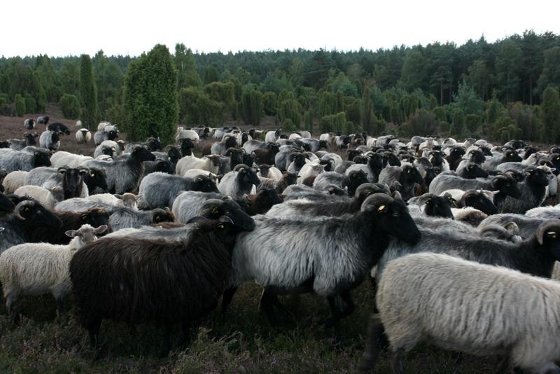 Heidschnucken in der Ellerndorfer Wacholder Heide