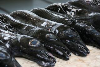 Der schwarze Degenfisch