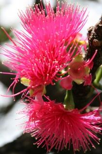 rotblühender Eukalyptusbaum