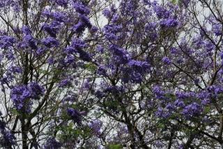 Die Blüten der violetten Jacarandas