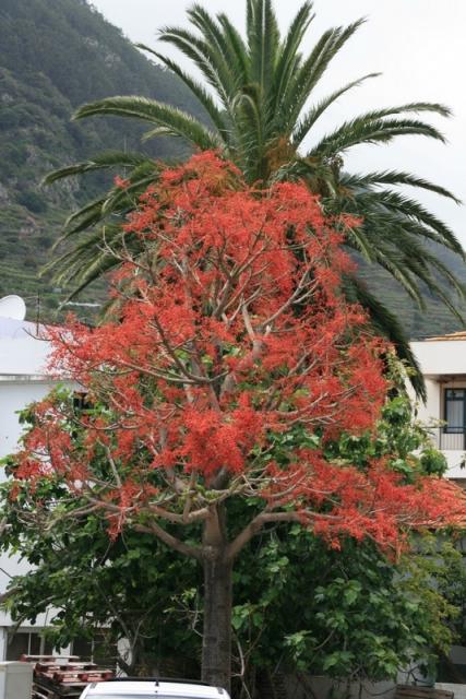 Flammenbaum in Machico