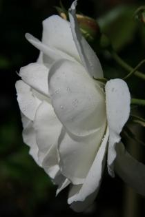 weisse Rose im Rosengarten der Palheiro Gardens
