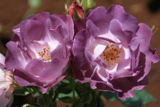 Rose im Rosengarten der Palheiro Gardens
