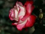 Rose im berühmen Rosarium von Arco de Sao Jorge