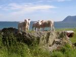 Schafe sind einen wichtige Lebensgrundlage