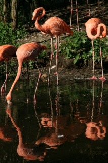 Tierpark Nürnberg - Flamingos