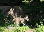 Tierpark Nürnberg - Känguruhs