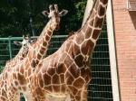 Tierpark Nürnberg - Giraffen