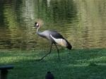 Tierpark Nürnberg - Kronenkranich