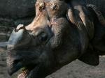 Tierpark Nürnberg - Nashorn