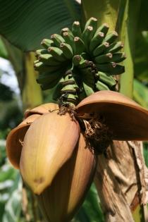 Bananenstaude in Lost Gardens of Heligan
