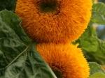 Sonnenblume im Eden Project