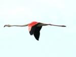 Fliegender Flamingo