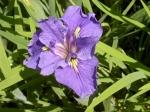 Iris / Brissago Inseln