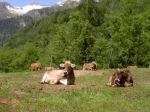 Landschaftidylle mit Kühen